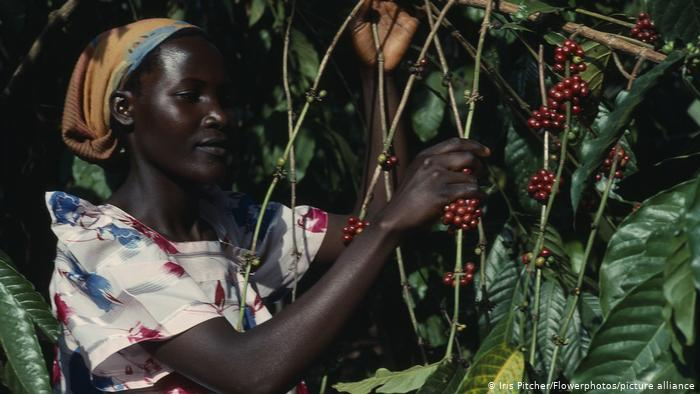 coffee picker in Ethiopia