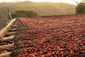 fermented coffee cherry